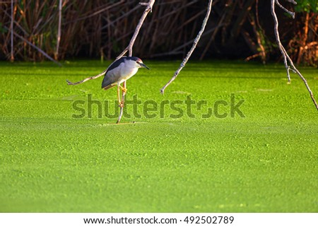 Blackcrowned Night heron on branch