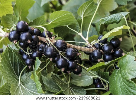 Blackcurrant brunch - stock photo
