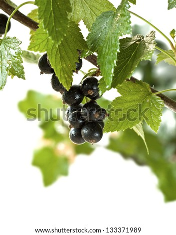 blackcurrant isolated - stock photo