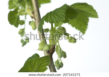 Blackcurrants branches with some buds and leaves on white. - stock photo