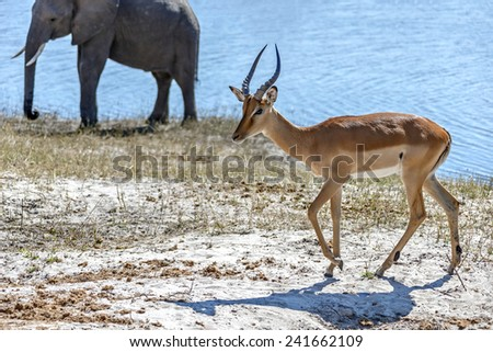 Blackfaced impala and elefant in Chobe National Park - Botswana, South-West Africa - stock photo