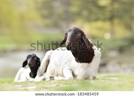 Blackhead Persian sheep lying on grass with her lamb - stock photo