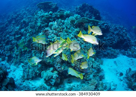 Blackspotted rubberlip-Plectorhinchus gaterinus, Red Sea, Sudan. - stock photo
