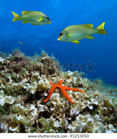 Blackspotted sweetlips with red starfish in front