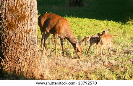 Blacktail Deer - Doe and Twin Fawns