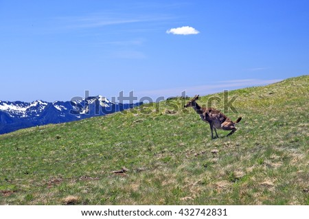 Blacktail deer squats in alpine meadow at Hurricane Ridge in Olympic National Park