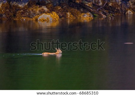 Blacktail Deer swimming between islands within the Nakwasina Sound, north of Sitka, Alaska - stock photo