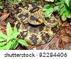 Blacktailed Rattlesnake, Crotalus molossus - stock photo