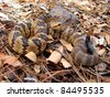 Blacktailed Rattlesnake, Crotalus molossus, flicking tongue - stock photo