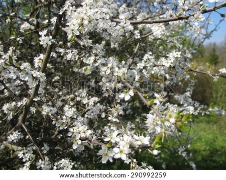 Blackthorn flowers - stock photo
