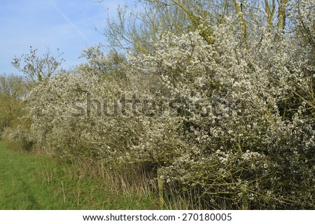 Blackthorn Hedge in flower - Prunus spinosa Cotswold Water Park - stock photo