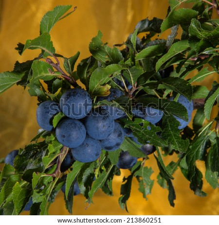 Blackthorn - Prunus spinosa - Branch with fruits, studio shot with golden background - stock photo