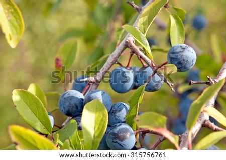 Blackthorn, Prunus spinosus close up - stock photo