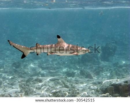 Blacktip reef shark - stock photo