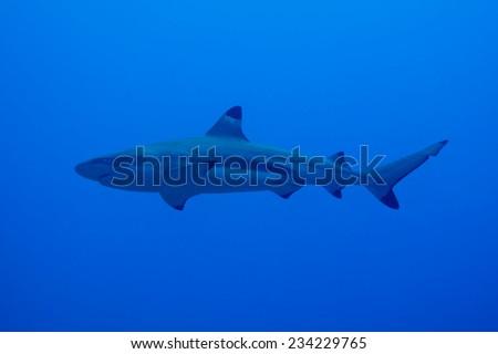 Blacktip reef shark (Carcharhinus melanopterus) - stock photo