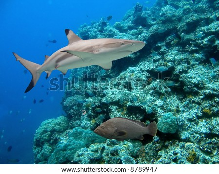 Blacktip Reef Shark (Carcharhinus melanopterus) and Peacock Cod (Cephalopholis argus)  swimming over tropical coral reef. - stock photo
