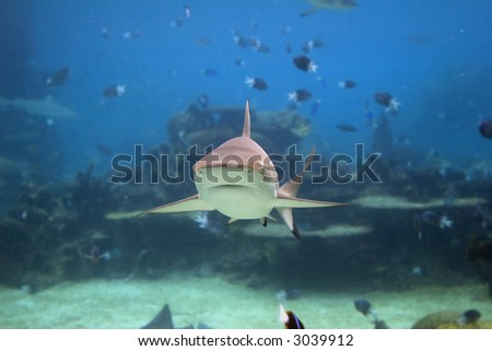 Blacktip Reef Shark (Carcharhinus melanopterus) front-on, swimming over reef.