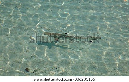 Blacktip reef shark (Carcharhinus melanopterus) in the shallow water - stock photo