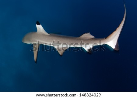 Blacktip reef sharks (Carcharhinus melanopterus) are relatively small elasmobranchs found around shallow tropical coral reefs across the Pacific and Indian Oceans. - stock photo