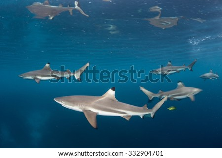 Blacktip reef sharks (Carcharhinus melanopterus) swim just under the surface of the tropical western Pacific. This small shark species is a common predator found in the shallows near coral reefs. - stock photo