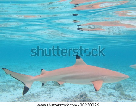 Blacktip Shark in Colorful Lagoon of Bora Bora, French Polynesia from above. - stock photo