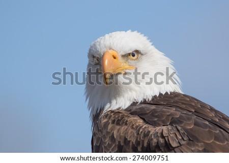 Blad Eagle Portrait - stock photo