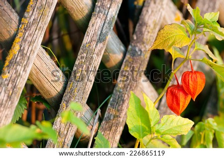 bladder cherry fruit in front of a wooden garden fence - stock photo