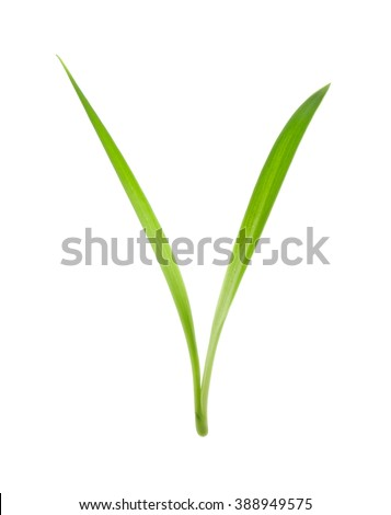 blade of grass isolated on white background - stock photo