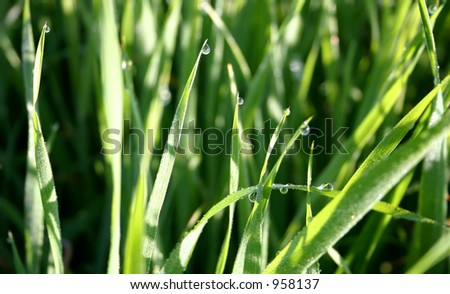 Blades of grass with glistening drops of dew water - stock photo
