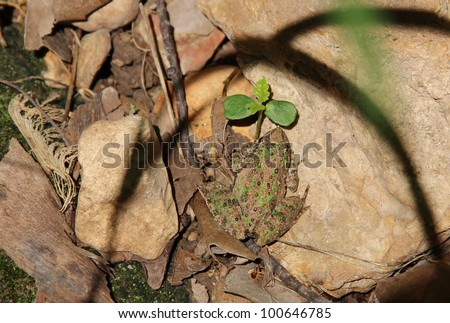 Blanchard's Tree Frog freezes on the forest floor hoping not to be seen.  If he hadn't hopped to this spot in the first place, he probably wouldn't have caught the cameras eye, thanks to his coloring. - stock photo