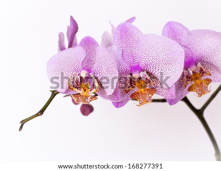 Blanche violet orchid flowers, isolated background - stock photo