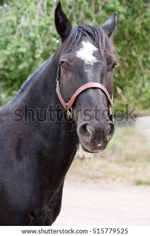 Blaze.  A beautiful black horse with a white blaze on his forehead looks intently at the photographer.