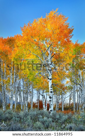 Blazing Aspen - stock photo