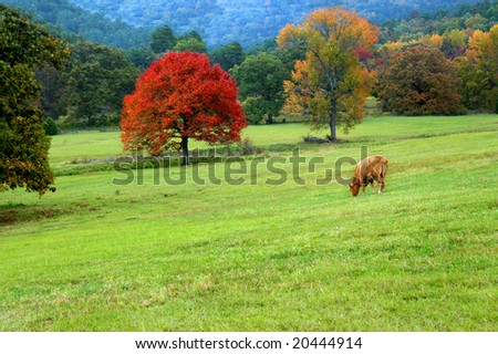 Blazing orange maple tree highlights green pasture.  Single cow grazes in field. - stock photo