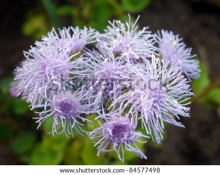 blazing star flowers with water drops - stock photo