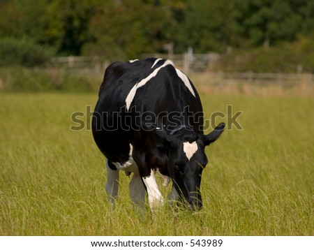 Blcak and white cow grazing in a field - stock photo
