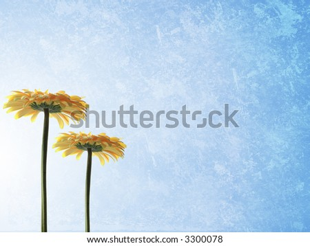 Ble grunge background with two yellow gerbers - stock photo