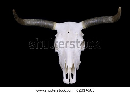 Bleached out Texas longhorn steer skull on black background. - stock photo