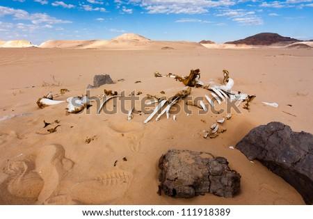 Bleached white skeleton of a dead camel in the unforgiving Sinai desert - stock photo