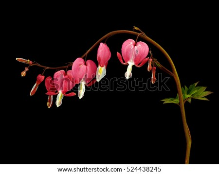 Bleeding Heart flower, Dicentra spectabilis on a black background