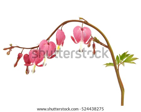 Bleeding Heart flower, Dicentra spectabilis on a white background