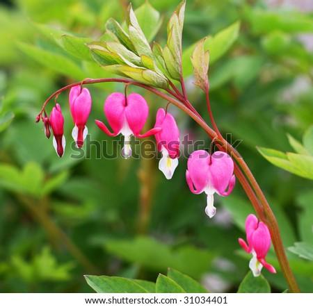 bleeding hearts flowers - stock photo