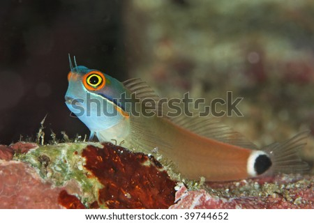 blenny fish, ecsenius yaeyamensis - stock photo