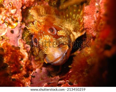 blenny - Parablennius gattorugine - stock photo