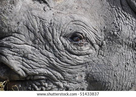 Blind black rhinoceros eye