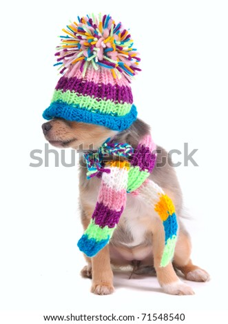 Blind (can't see), closed eyes concept. Dressed Chihuahua Puppy With Hat Pulled Over Eyes - stock photo