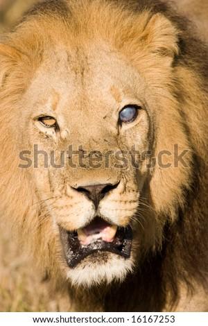 Blind Male Lion (Pantera Leo) - stock photo