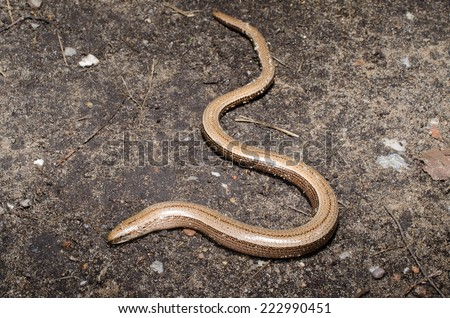 blind worm on path - stock photo