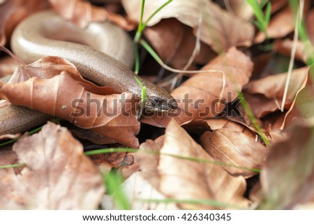 Blindworm - Leaves - stock photo