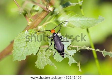 blister beetle - stock photo